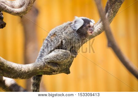 Close up Common Marmoset on the tree