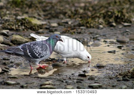 An albino pigeon and it's grey pigeon taking a drink from a puddle