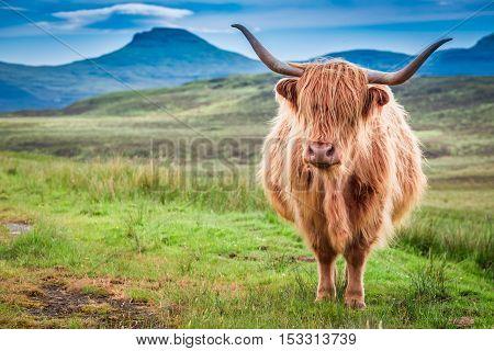 Highland Cow In Isle Of Skye, Scotland