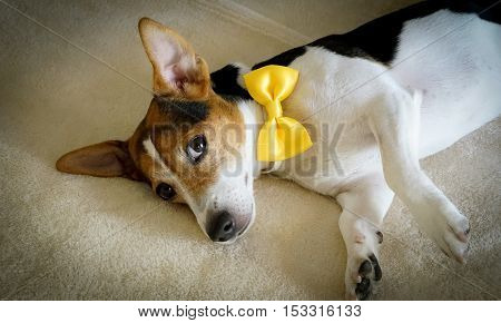 Young jack russell terrier dog lying on the bed with yellow tied bow
