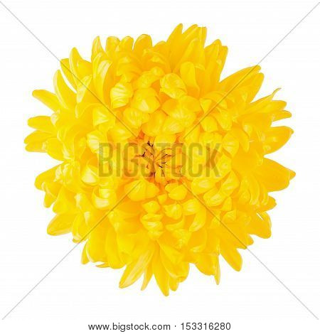 Chrysanthemum yellow flower head top view isolated on white
