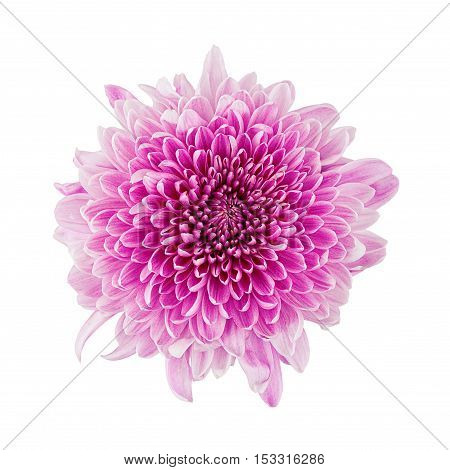 Chrysanthemum pink flower head top view isolated