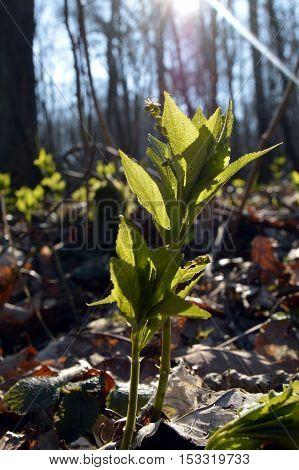 Jeune pouce d'arbre entre eux feuilles morte dans le for