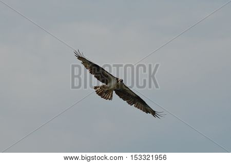 Osprey with his wings extended against a blue sky.