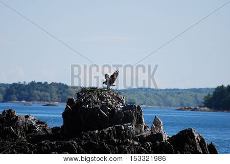 Osprey bird sitting a top a nest on a rock ledge in Casco Bay in Maine.