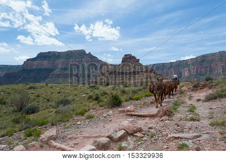 Mules Ascending The Grand Canyon