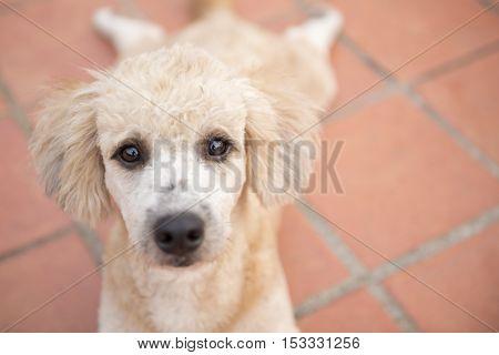 Close up to the eye of sad poodle dogThe eye of dirty poodle dog