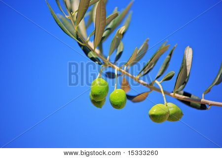Olives on an olive tree against blue sky