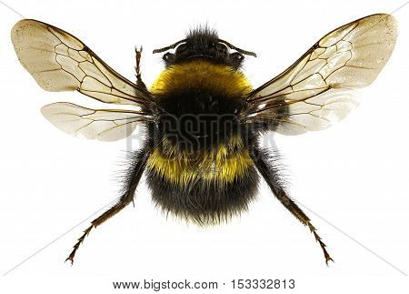 The Garden Bumblebee on white Background - Bombus hortorum (Linnaeus1761)