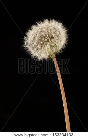 Closeup on dandelion with seeds on black background.