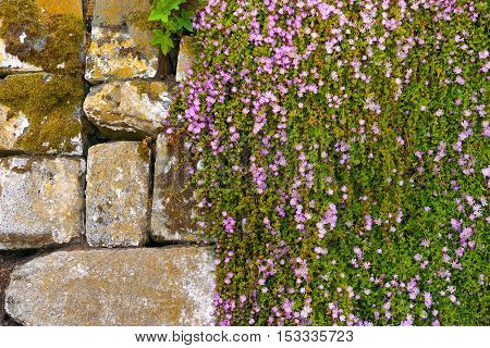 Climbing plant on the stone wall close-up shot