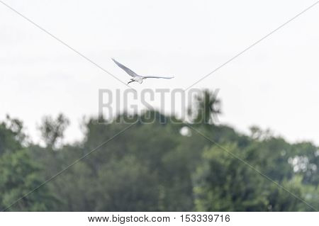 Great Egret gliding over treetops along southeastern Massachusetts marsh