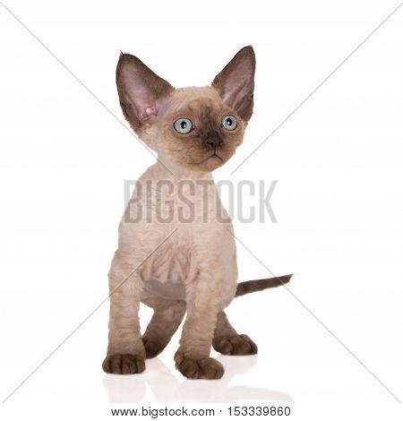 adorable colorpoint devon rex kitten on white