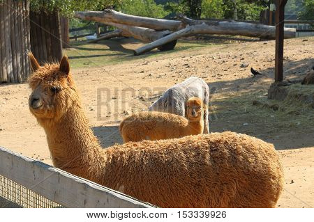 Llama alpaca (Vicugna pacos) focused of front (first) llama by the fence during the sunny day