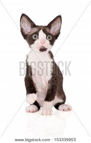 adorable devon rex kitten posing on white