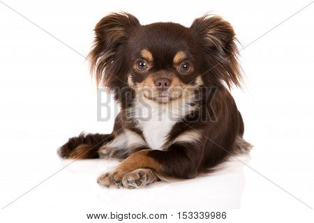 chihuahua dog posing with crossed paws on white