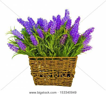 basket with lavender. lavender flowers. Lavender isolated on white background
