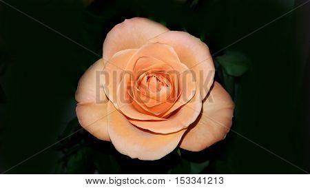 Perfect fresh orange rose on black background