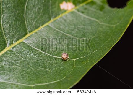 Tawny Rajah Butterfly Egg