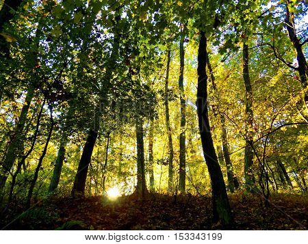 Yellow colorful leaves on deciduous trees in deciduous forest in wild nature during autumn
