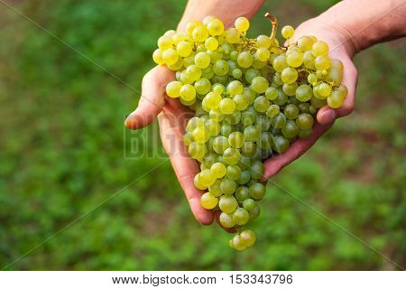 Farmers Hand With Cluster Of White Grapes