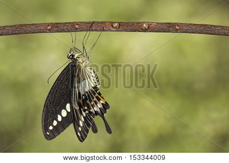 Banded Swallowtail Butterfly (papilio Demolion) Hanging On Twig