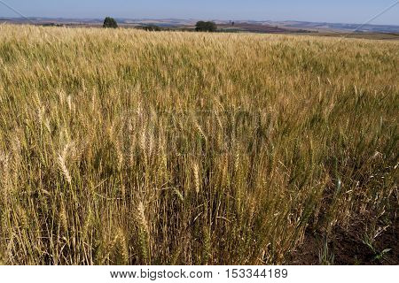 Wheat field cereal plant agriculture farm rural scene