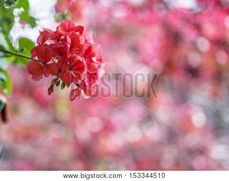 Red pelargonium flowers and blurred red leaves on the background.