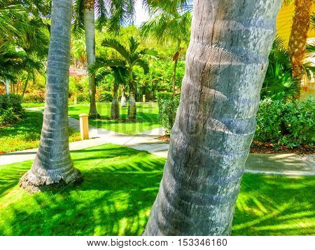 The Caribbean tropical beach. View through the trunks of palm trees