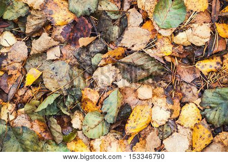 Colorful Fallen Autumnal Leaves