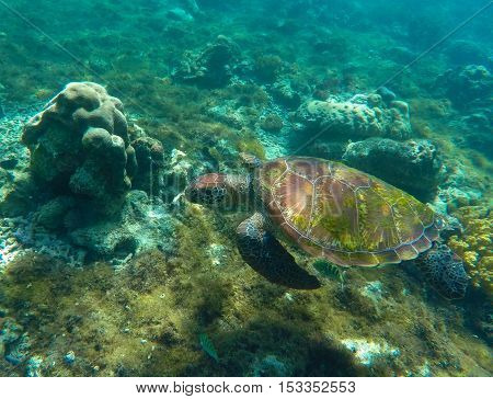 Sea turtle in blue water. Green sea turtle close photo.  Philippines snorkeling spot - Apo island. Tropical sea life