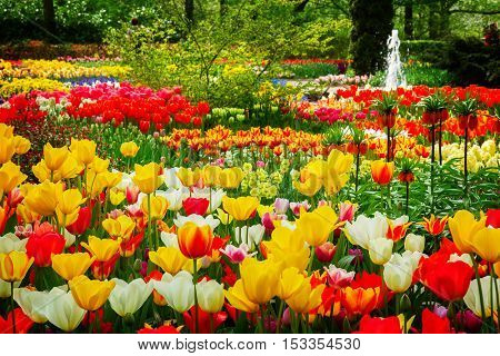 white, red, yellow tulip flowers in Keukenhof garden, Holland, retro toned