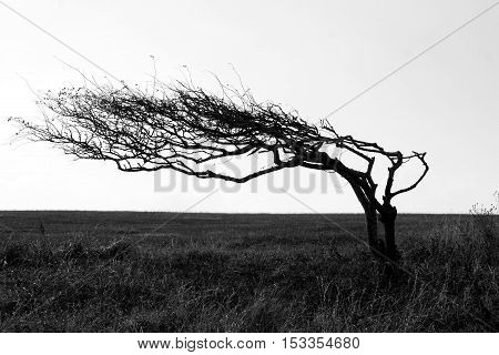 Wind swept tree growing side ways due to prevailing wind.