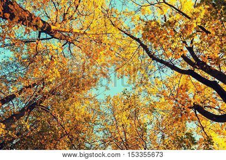 Autumn tree tops- orange autumn trees tops against blue sky. Autumn natural view of autumn trees. Autumn trees branches against blue autumn sky in sunny autumn weather. Autumn view of autumn tree tops
