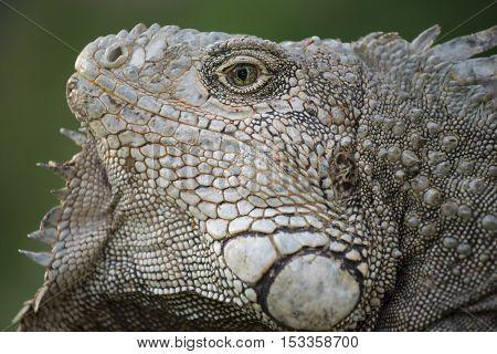 Close Up Of Wild Iguana Lizard Face