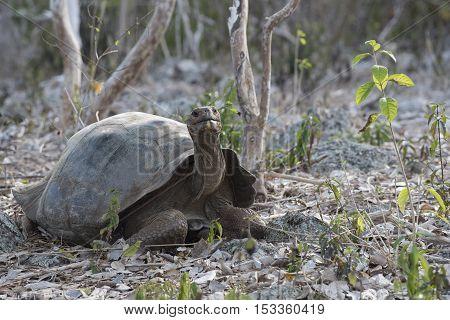 Wild Giant Tortoise On Galapagos Island