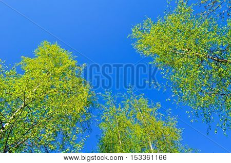 Yellowed tops of autumn forest birch trees with autumn yellow leaves extending to the blue sky in autumn day - autumn landscape lowest point shooting. Autumn nature background