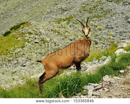 Tatra chamois. Rupicapra rupicapra tatrica. Chamois in their natural habitat. High Tatras National park in Slovakia.