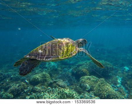 Sea turtle in blue water. Green sea turtle close photo.  Tropical sea wildlife. Undersea sunlight. Philippines underwater nature fauna. Exotic animal image
