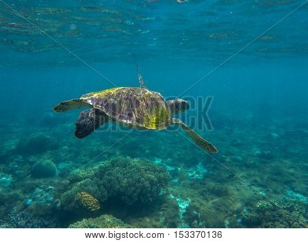 Sea turtle in blue water. Green sea turtle close photo in ocean depth. Sea turtle closeup. Tropical sea coral reef. Snorkeling with turtle. Philippines underwater nature fauna. Exotic animal image