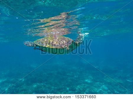Sea turtle in blue water. Green sea turtle taking a breath. Lovely sea turtle closeup. Green turtle swims in sea. Snorkeling with turtle in lagoon. Philippines snorkeling spot. Sport during vacation