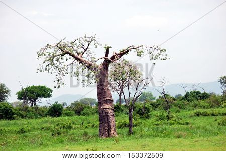 Baobab isolated in the savanna in a park of Tanzania