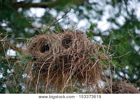 Cylindrical bird's nest on a branch of a Tanzanian park
