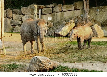 Two elephants in a zoo moving and looking at a viewer