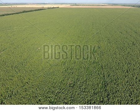 Field Of Sunflowers. Aerial View Of Agricultural Fields Flowering Oilseed. Top View
