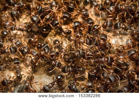 Huge pile of pesky sidewalk ants in closeup macro
