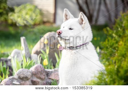 Dog Breeds Akita Inu Hachi. Color  White