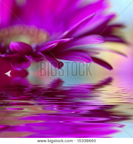 Closeup of violet daisy-gerbera with soft focus reflected in the water