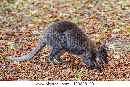 Kangaroo Bennett's (Dendrolagus bennettianus) is siting on autumn leaves
