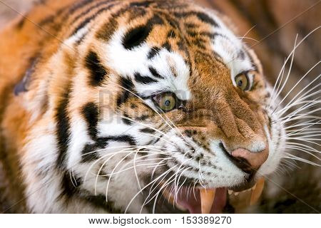 Young tiger (Panthera tigris altaica) growls aggressively
